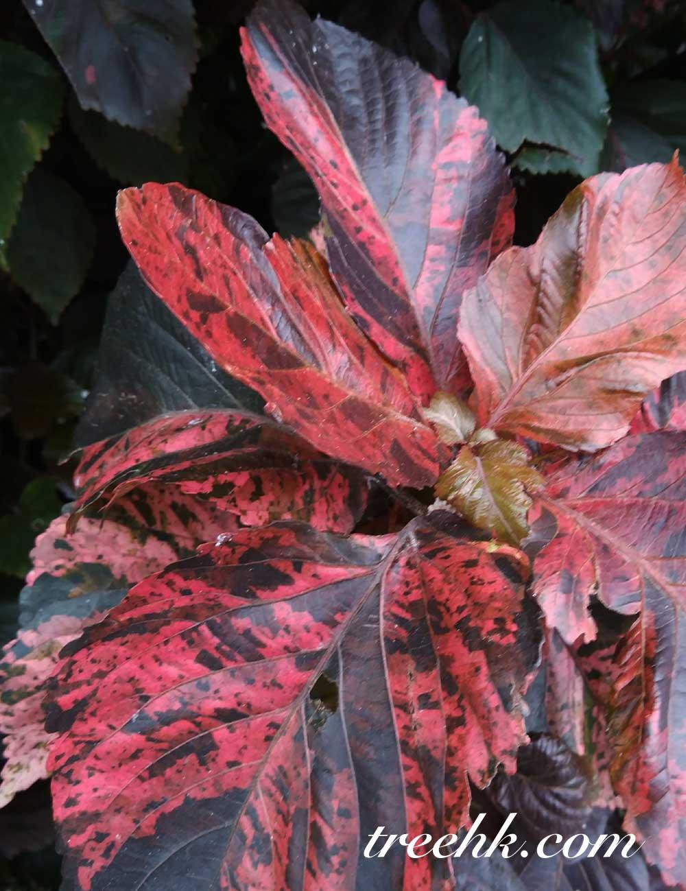 紅桑 Acalypha wilkesiana - Green Touch 香港常見樹木園藝生活