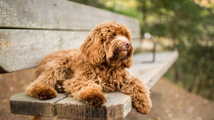 Labradoodles Are More Poodle Than Lab