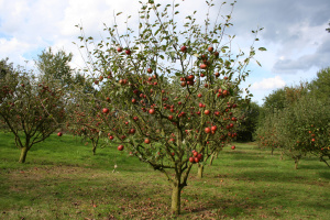 Apple Tree Pruning Your Guide To Trimming And Pruning Apple Trees Tree Removal