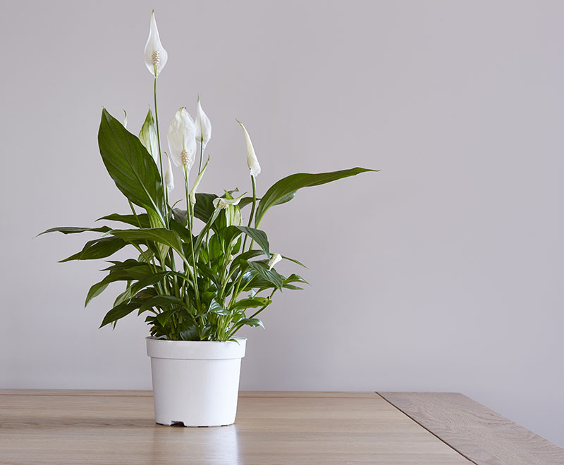 Peace Lily Spathiphyllum Guide Tips For Growing Care Propagation Trees Com