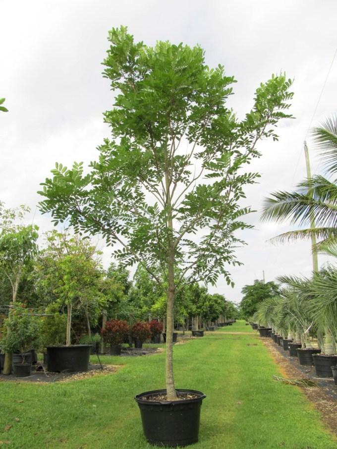 SIMAROUBA GLAUCA (PARADISE TREE) 25 GAL