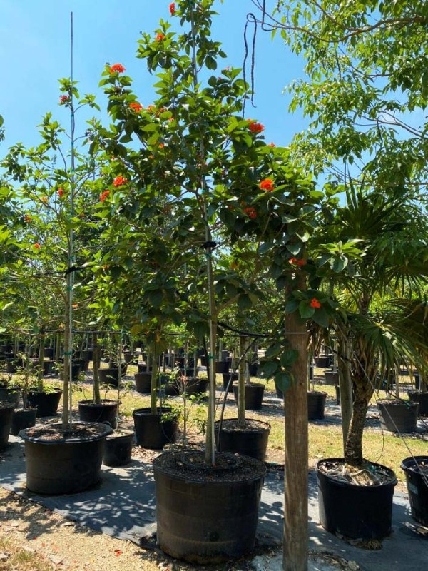 100 gallons orange geiger at TreeWorld Wholesale