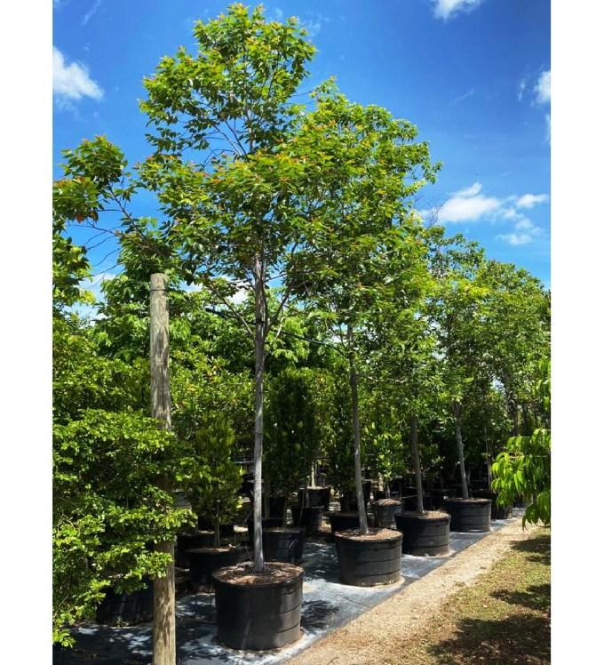 100 gallons eucalyptus deglupta at TreeWorld Wholesale