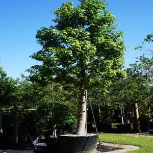 Adansonia Digitata (African Baobab) 100 gal