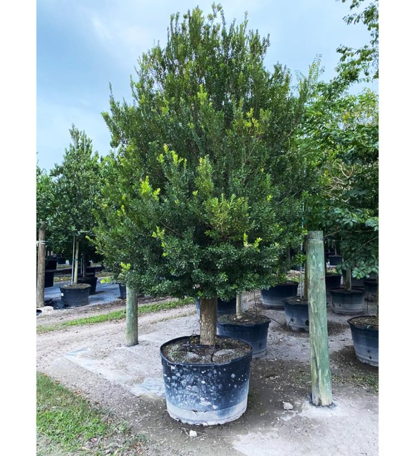 100 gallons spanish stopper bush at TreeWorld Wholesale