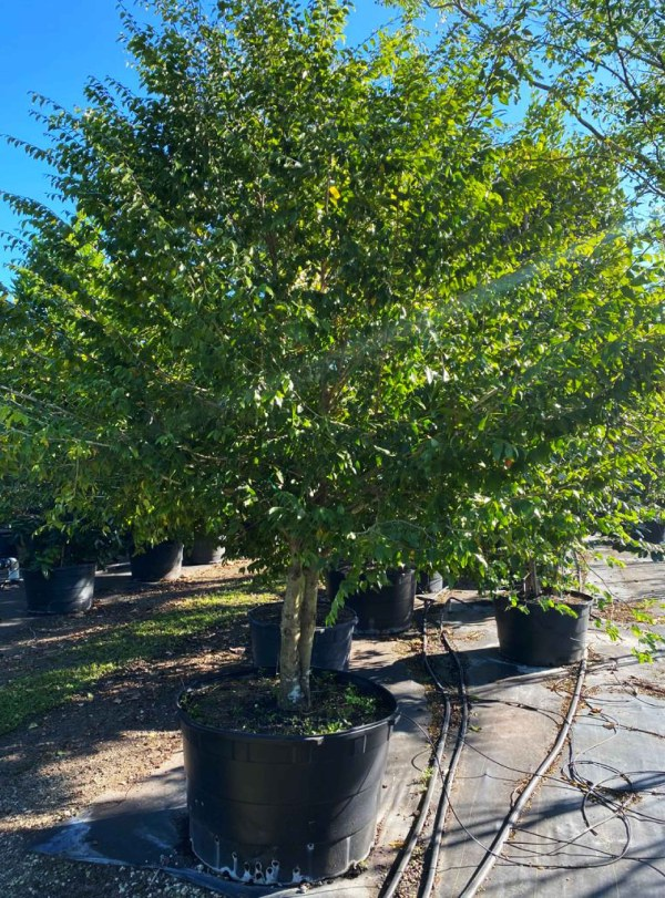 100 gallones Spicewood at TreeWorld Wholesale