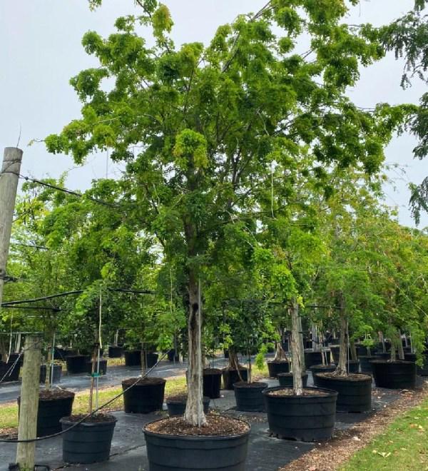 100 gallons lysoloma sabicu at TreeWorld Wholesale