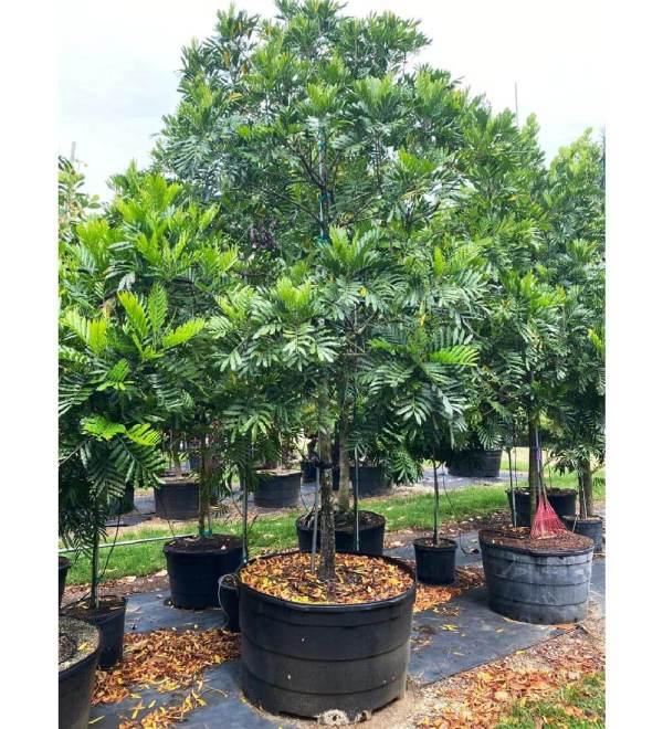 200 gallons japanese fern tree at TreeWorld Wholesale