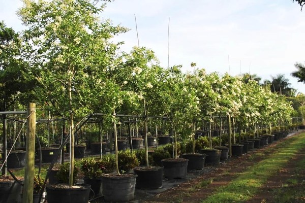 45 gal lagerstroemia indica at TreeWorld Wholesale