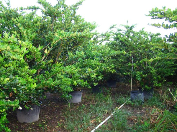 45 gal ligustrum lucidem bush row at TreeWorld Wholesale