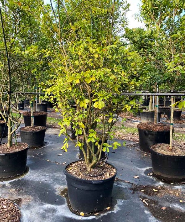 50 gallons Limber Caper at TreeWorld Wholesale