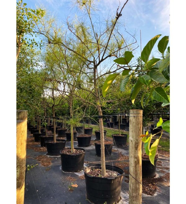 50 gallons parkinsonia aculeata also known as Jesuralem Thorn at TreeWorld Wholesale