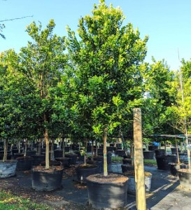drought tolerant trees 50 gal bayrum at TreeWorld Wholesale