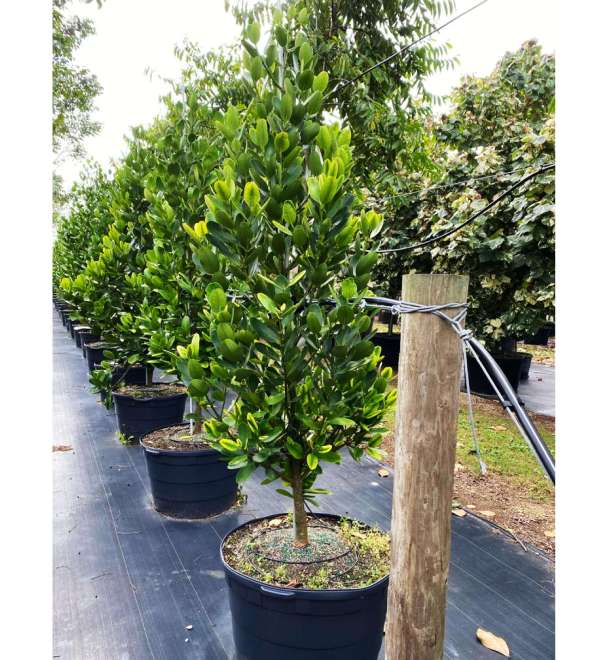 50 gallons garcinia spicatta at TreeWorld Wholesale