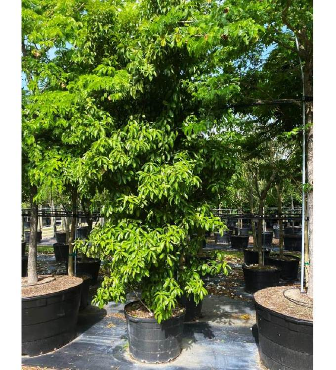 50 gallons marlberry at TreeWorld Wholesale