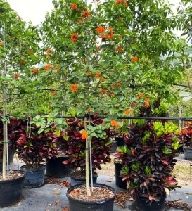 In an urban landscape setting, island trees refer to an area of ground landscape with trees and other plants; mostly arouisland trees 50 gallons orange geiger at TreeWorld Wholesale