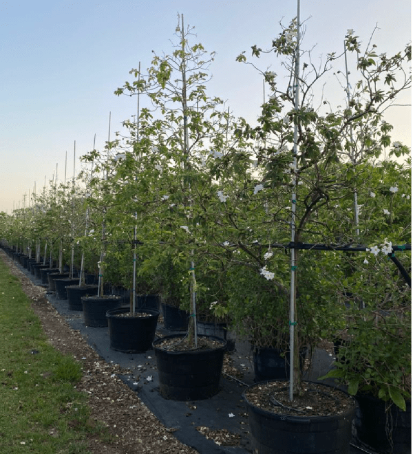 50 gallons cordia boissieri known as White Geiger at Treeworld Wholesale