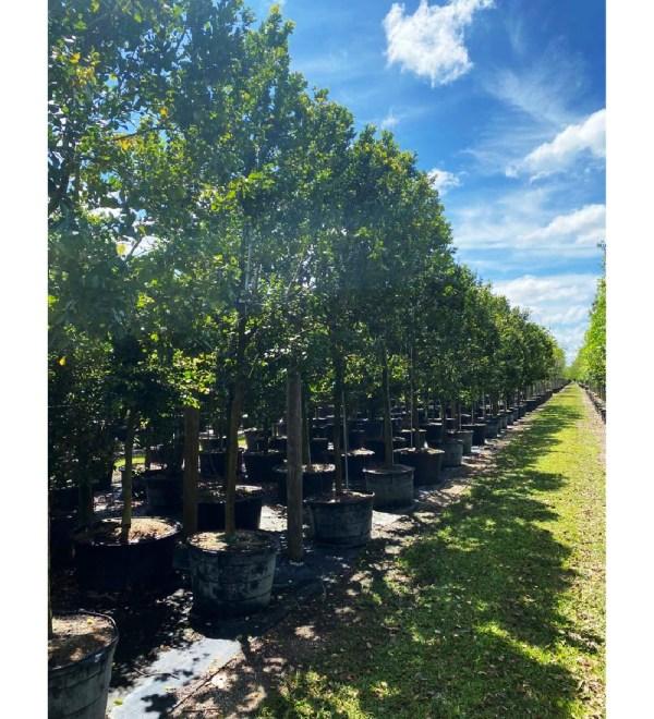65 gal black ironwood at TreeWorld Wholesale