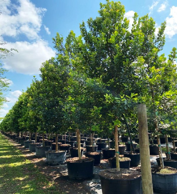 65 gal bayrum at TreeWorld Wholesale
