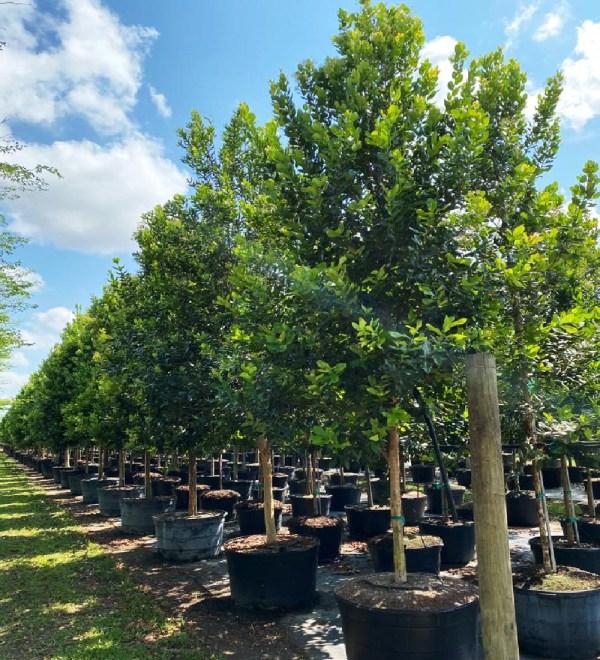 drought tolerant trees 65 gal bayrum at TreeWorld Wholesale