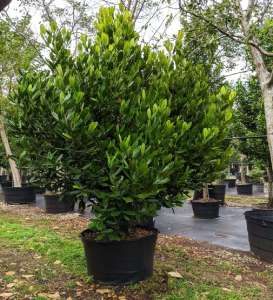 Garcinia Spicata (Mangosteen) 65 gal