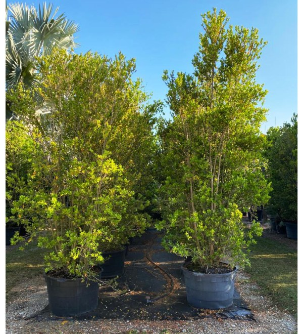 65 gallons spanish stopper bush at TreeWorld Wholesale