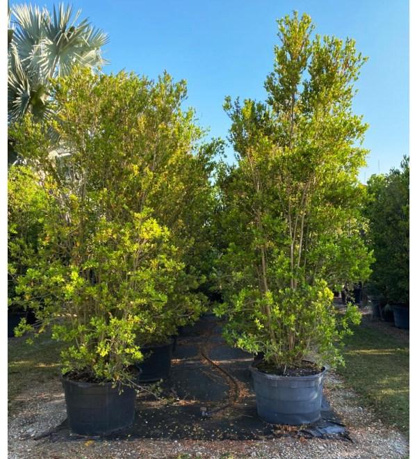 65 gallons spanish stopper bush at TreeWorld Wholesale