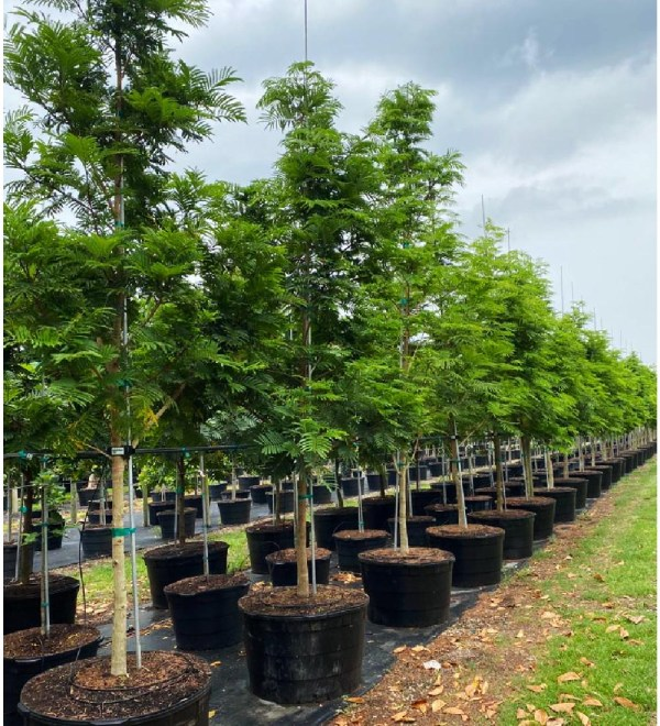50 gallons pithecilobium arborea lorito tree at TreeWorld Wholesale