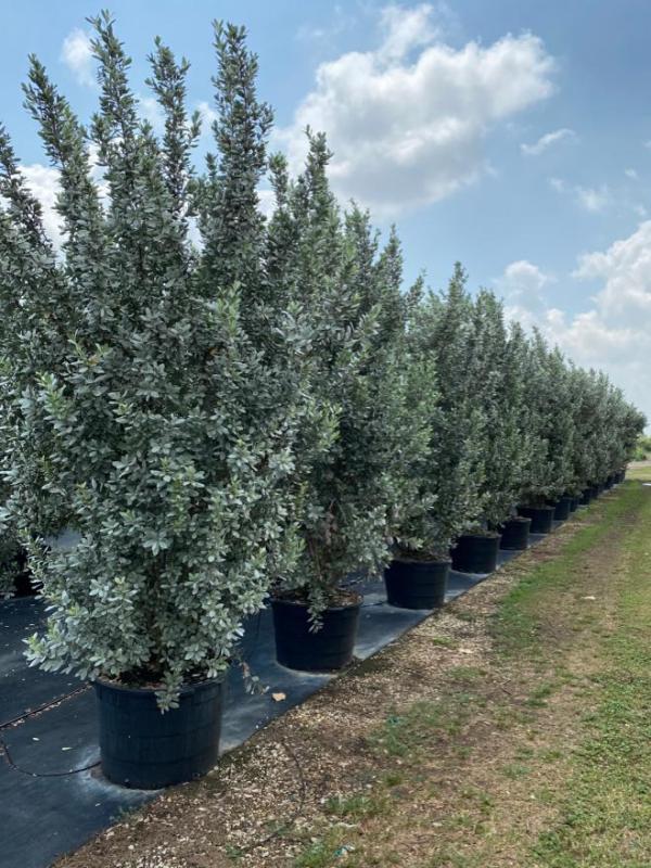 Conocarpus erectus (Silver Buttonwood)