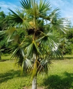 garden additions Coccothrinax Argentata (Silver Palm)
