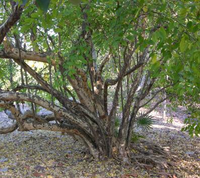 Colubrina Elliptica (Soldierwood)