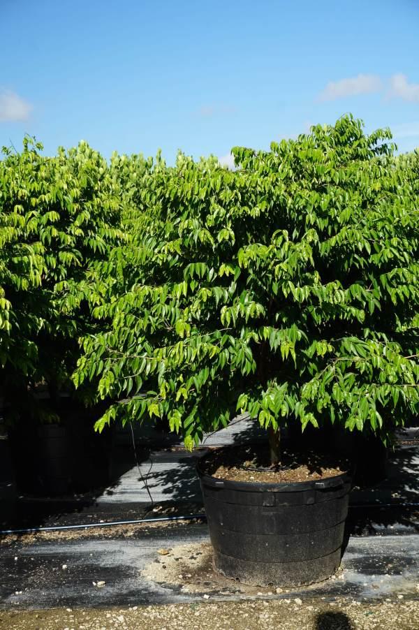 Myrciaria cauliflora (Jaboticaba)