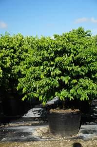 tree and bush Myrciaria cauliflora (Jaboticaba)