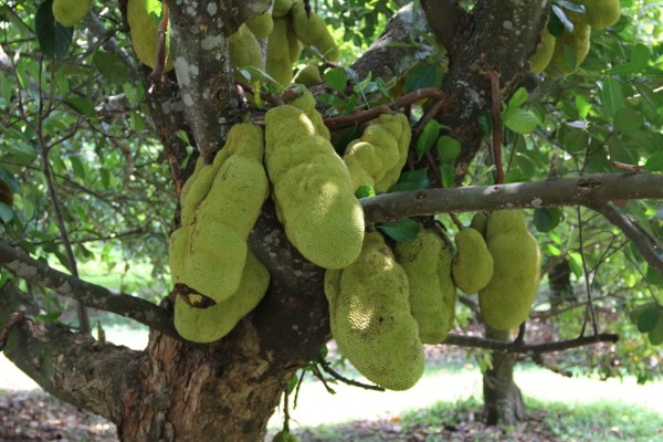 Artocarpus Heterophyllus (Jackfruit)