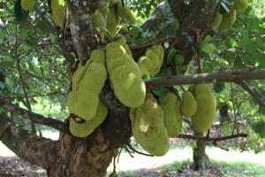 fruit trees Artocarpus Heterophyllus (Jackfruit)
