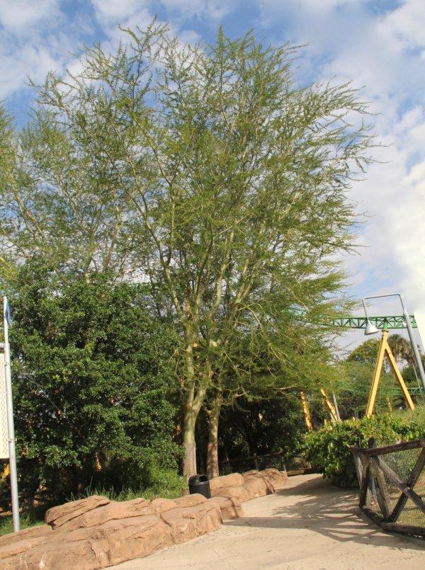 Specimen Acacia Xanthophloea known as Fever Tree at TreeWorld Wholesa