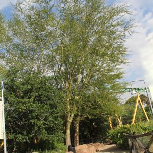 Specimen Acacia Xanthophloea known as Fever Tree at TreeWorld Wholesa