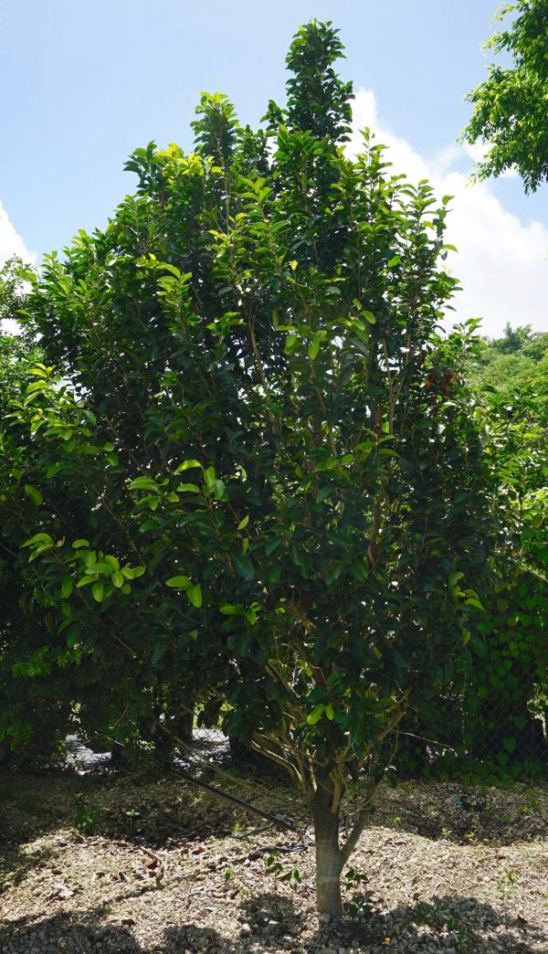 Drypetes lateriflora (Milk bark