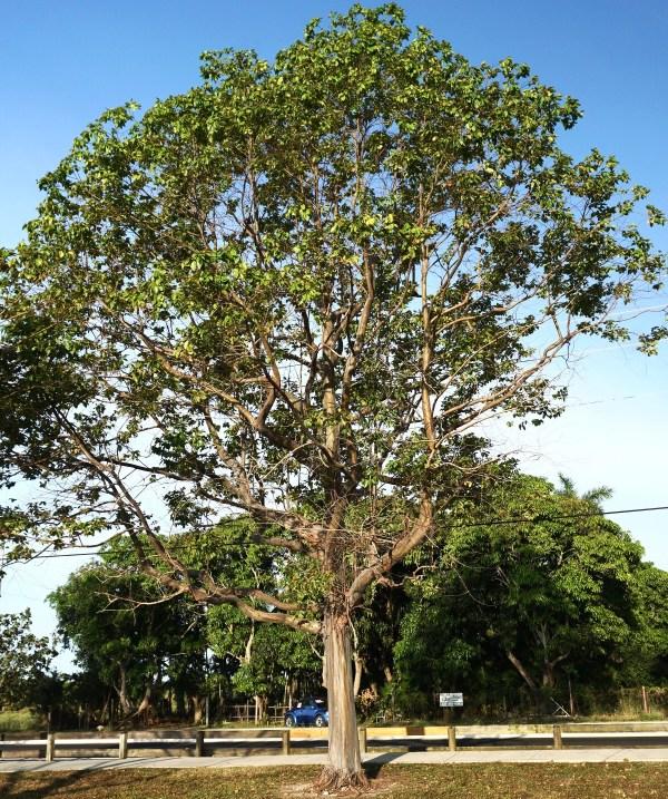 Eucalyptus Deglupta (Mindanao Gum)