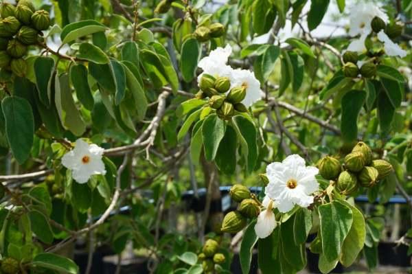 Seeds Cordia Boissieri White Geiger at TreeWorld