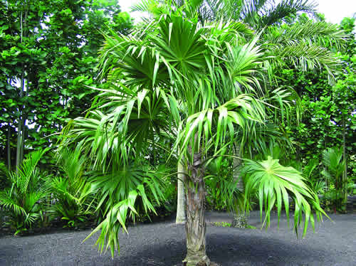 Thrinax radiata (Thatch Palm)