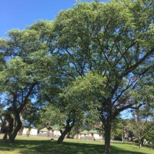 Tipuana tipu (Tipuana Tree)
