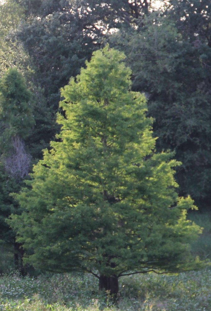 Taxodium Distichum (Bald Cypress)SPECIMEN