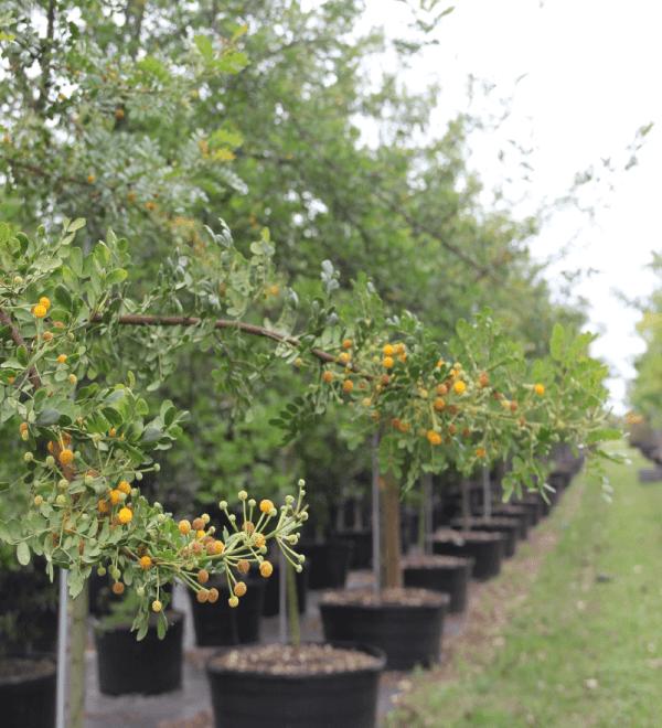 Acacia Cinnecord brand detail planted at TreeWorld Wholesale
