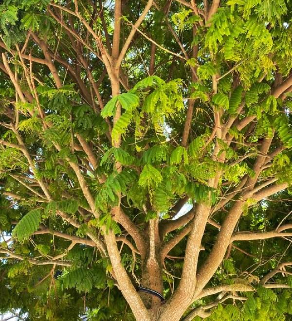 trunk pithecilobium -arborea lorito