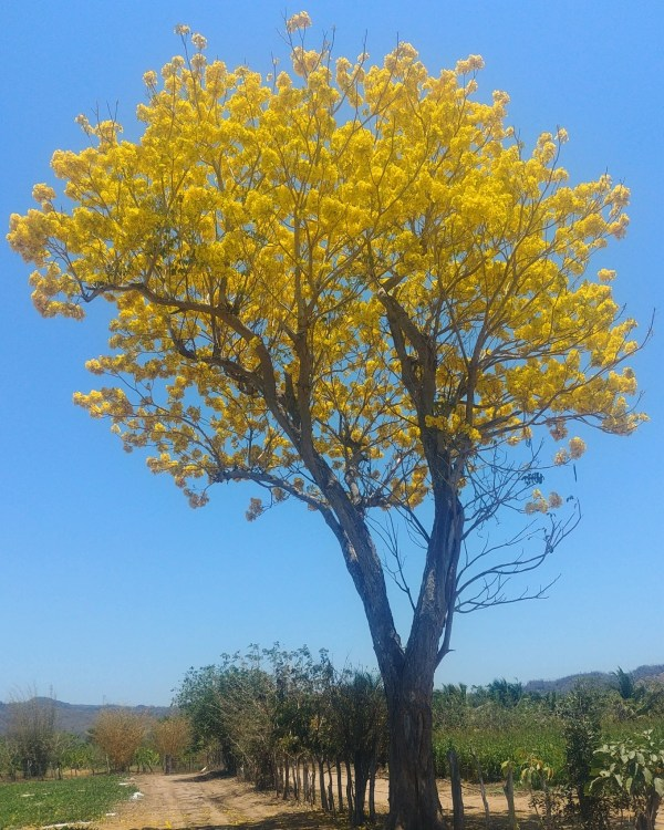 Tabebuia donnell-smithii (Primavera tree)