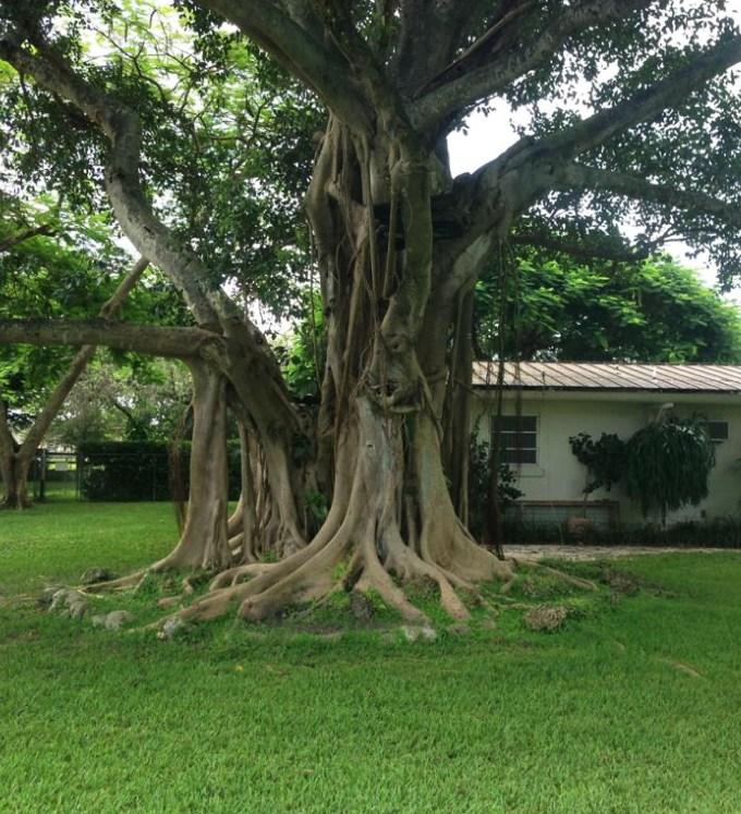 ficusaurea-stranglerfig-trunk