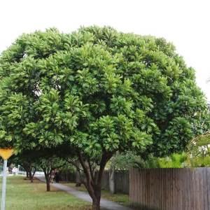 specimen japanese fern tree
