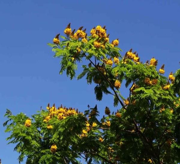 flower_caesalpiniapeltopheroides-sebipira-trreworld