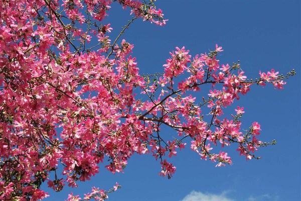 flower_chorisiaspeciosa-flosssilktree